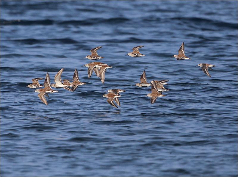 Kärrsnäppor i flykten längst ner på Ölands Södra Udde