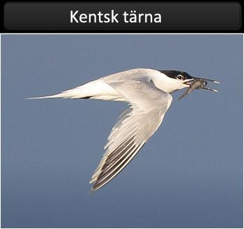 Kentsk tärna (Sandwich Tern)