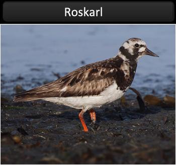 Roskarl (Turnstone)