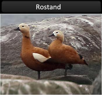 Rostand (Ruddy Shelduck)