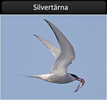 Silvertärna (Arctic Terna)