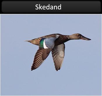 Skedand (Shoveler)