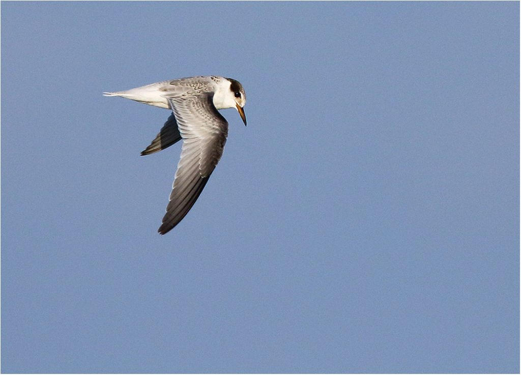 Småtärna (Little Tern) vid Seby Läge, Öland