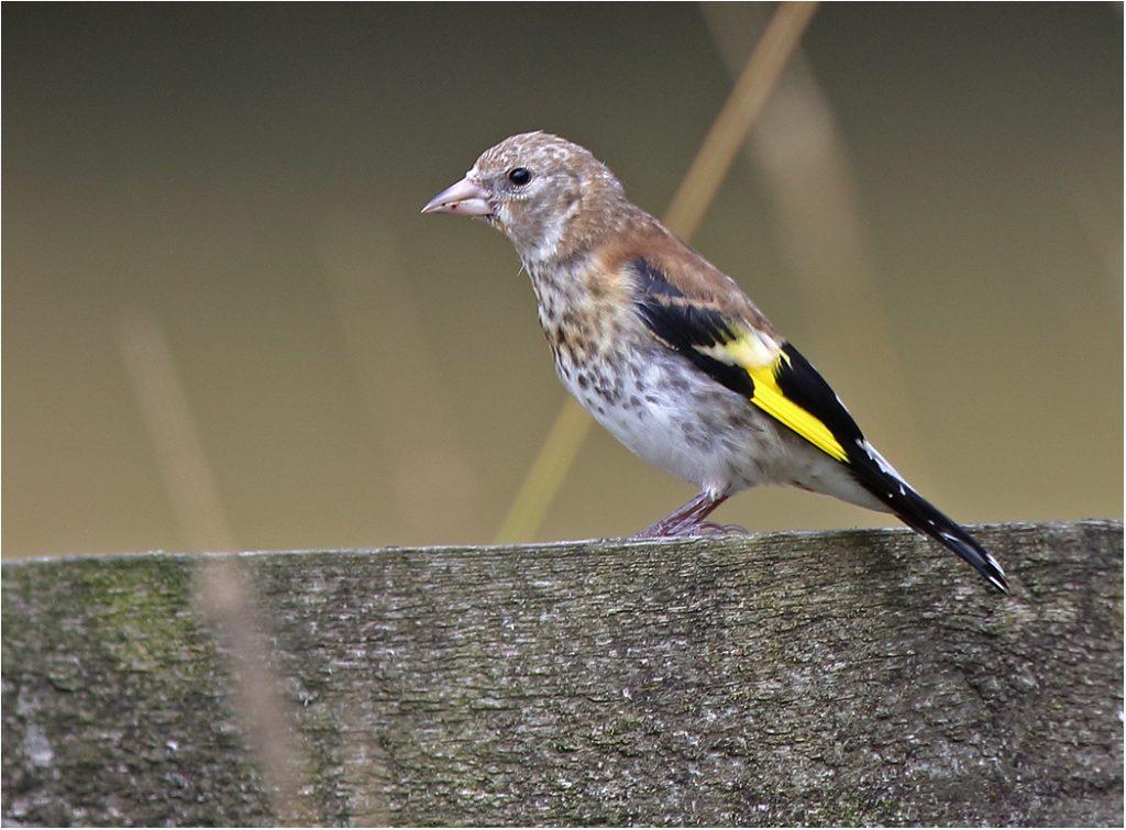 Steglits (European Goldfinch) vid Stora Amundö