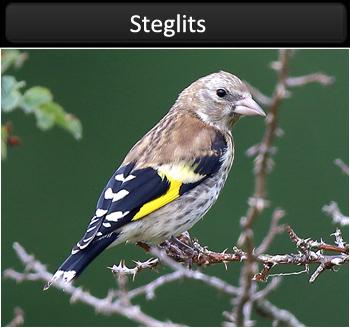 Steglits