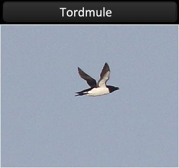 Tordmule (Razorbill)
