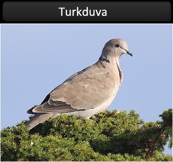 Turkduva