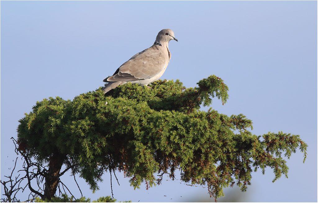 Turkduva (Collared Dove) vid Kungsstenarna, Ottenby på Öland
