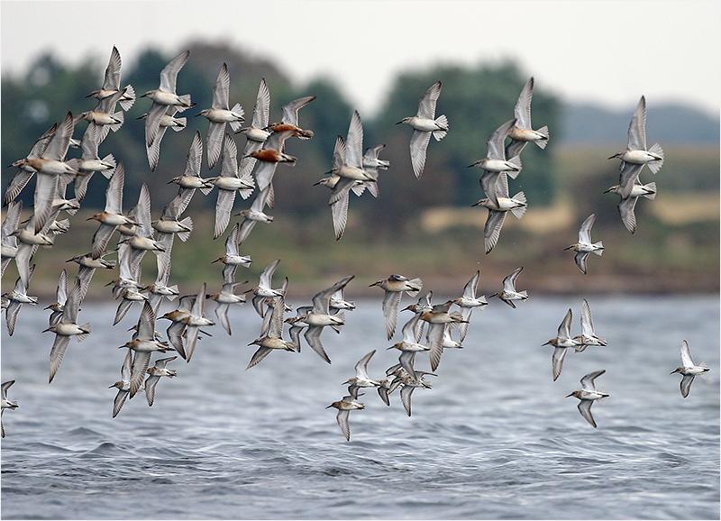 Calidrisvadare som flyger omkring vid Korshamn