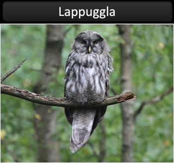 Lappuggla (Greaty Grey Owl)