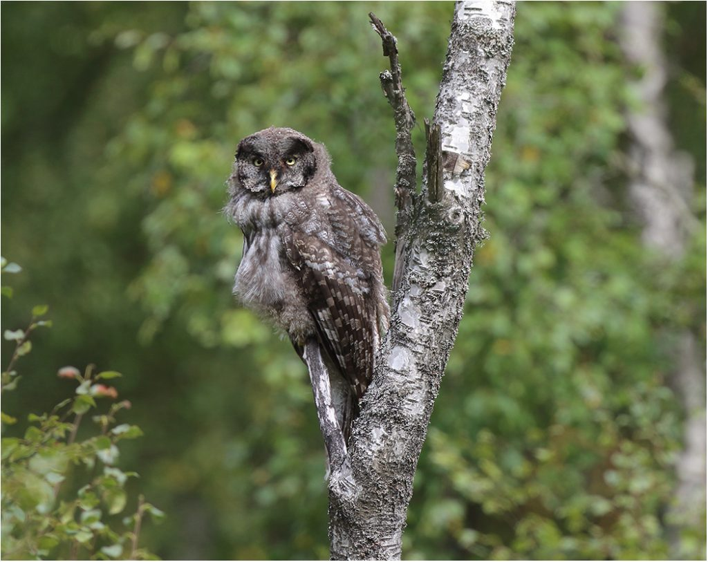 Lappuggla (Great Grey Owl) i södra Halland