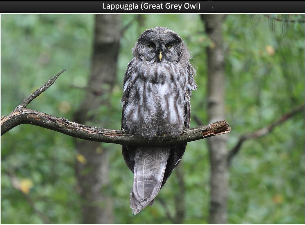 Lappuggla (Great Grey Owl)