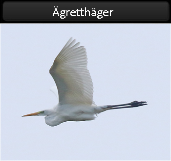 Ägretthäger (Great White Heron) vid Stora Amundö, Göteborg