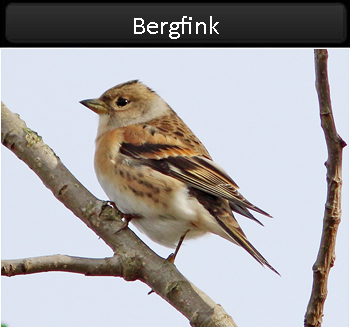 Bergfink (Brambling) vid Stenåsabadet, Öland