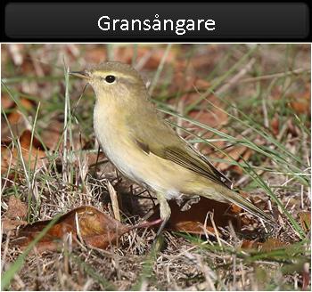 Gransångare (Chiffchaff)