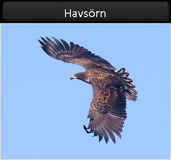 Havsörn (White-tailed Eagle) vid Börringsjön, Skåne