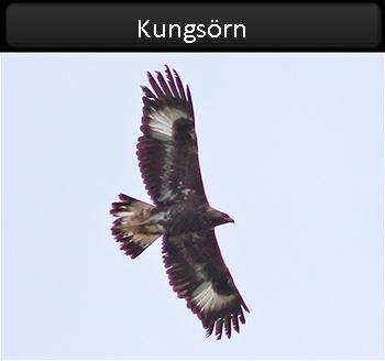 Kungsörn (Golden Eagle) nära Ås kyrka, Öland