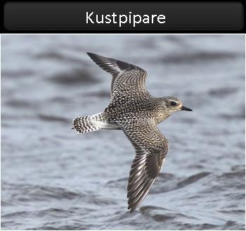 Kustpipare (Grey Plover) vid Stenåsabadet, Öland