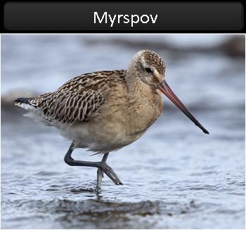 Myrspov (Bar-tailed Godwit) vid Stenåsabadet, Öland