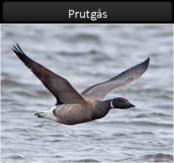 Prutgås (Brent Goose) från Öland