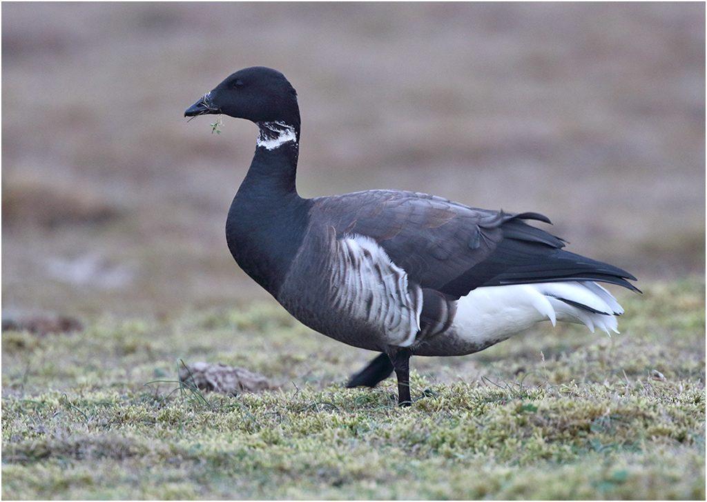 Svartbukig prutgås (Black Brent Gosse) vid Fyrvägen, Ottenby, Öland