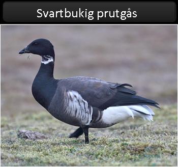 Svartbukig prutgås (Black Brent Goose)