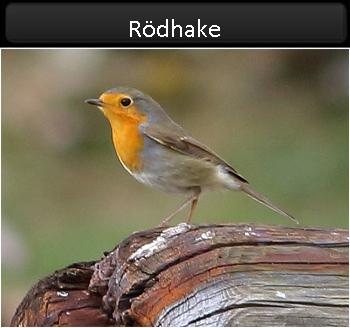 Rödhake (Robin) vid Gräsgårds hamn, Öland