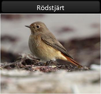 Rödstjärt (Common Redstart) vid Stenåsabadet, Öland