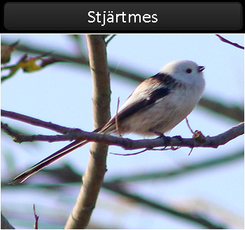 Stjärtmes (Long-tailed Tit) vid Stenåsabadet, Öland