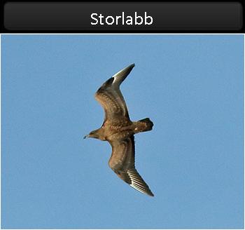 Storlabb (Great Skua) vid Glommens Sten, Halland