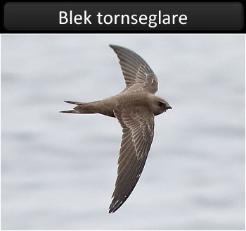 Blek tornseglare (Pallid Swift) vid Gubbanäsan, Geteröns naturreservat i Varberg