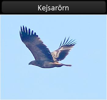 Kejsarörn (Eastern Imperial Eagle)