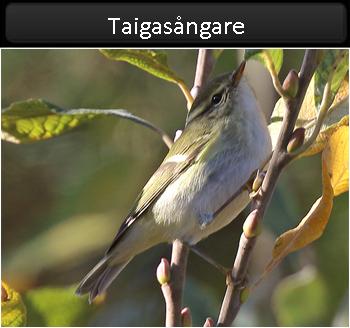 Taigasångare (Yellow-browed Warbler) vid Gräsgårds by, Öland