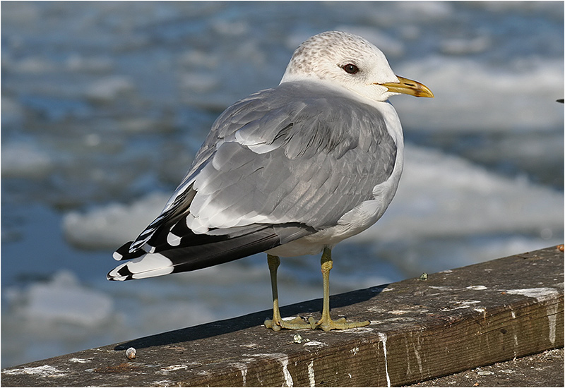 Fiskmås (Common Gull)
