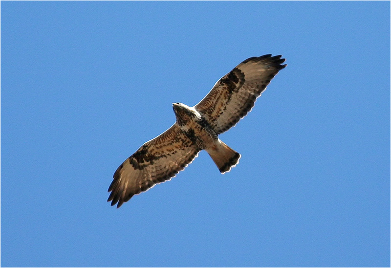 Fjällvråk (Rough-Legged Buzzard)
