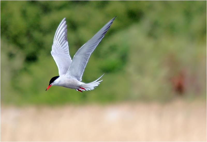 Fisktärna (Common Tern)