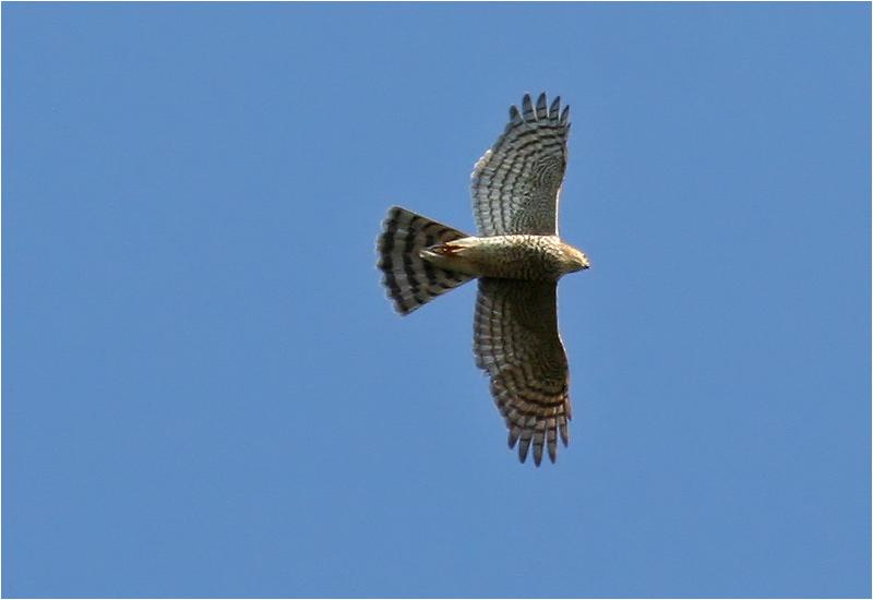 Sparvhök (Sparrowhawk)