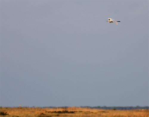 Ägretthäger, Nabben, Falsterbo, Skåne