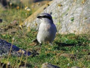 Varfågel, Morups Tånge, Halland