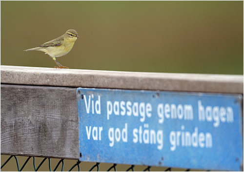 Lövsångare, Hästhagen, Stora Amundö