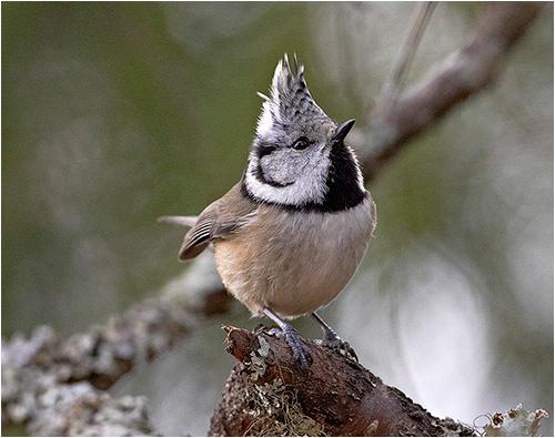 Tofsmes vid fågelmatningen