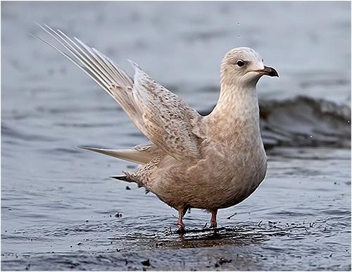 Vitvingad trut, 1k-fågel, Träslövsläge