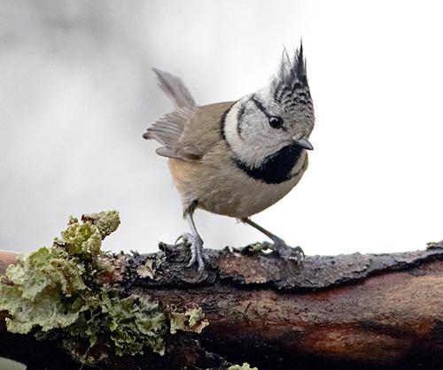 Tofsmes vid fågelmatningen i Mossbodarna utanför Borlänge