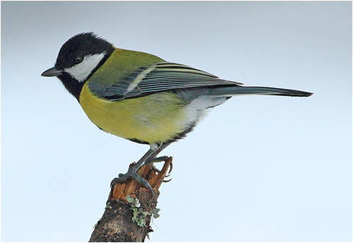 Talgoxe vid fågelmatningen i Mossbodarna
