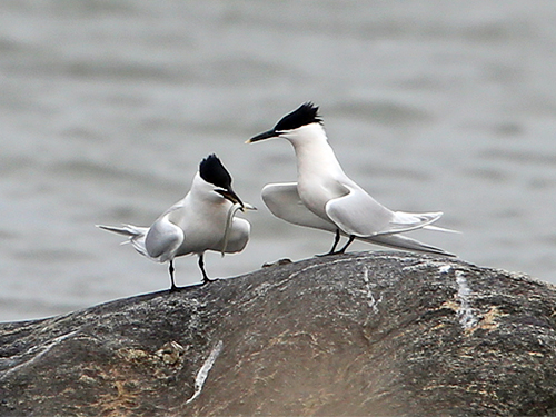 Kentsk tärna i viken mellan Lilla och Stora Amundö