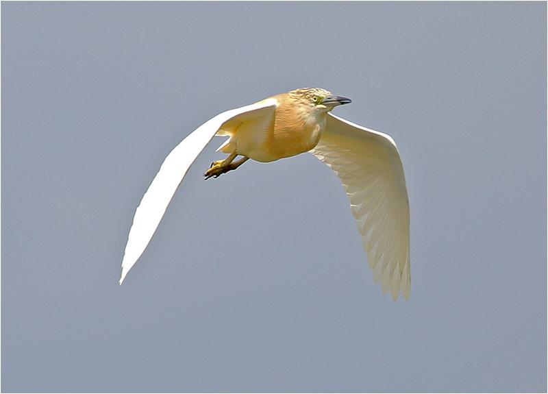 Överflygande rallhäger