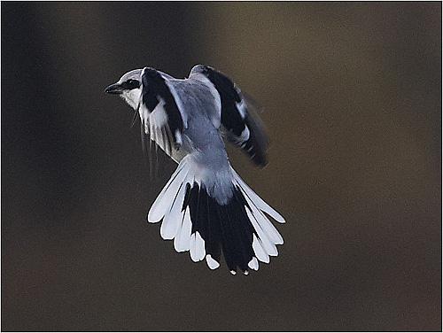 Varfågel i Hästhagen på Stora Amundö