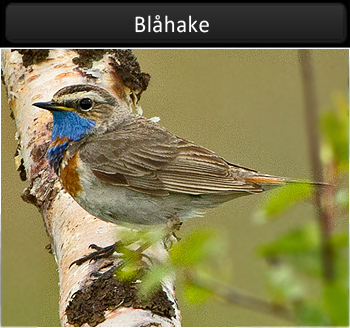 Blåhake (Bluethroat)