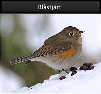 Blåstjärt (Red-flanked Bluetail)