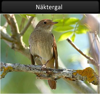 Näktergal (Thrush Nightingale)